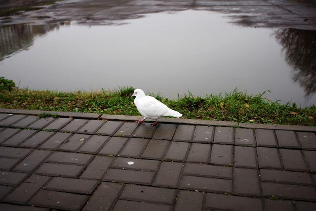 Белый голубь на прогулке