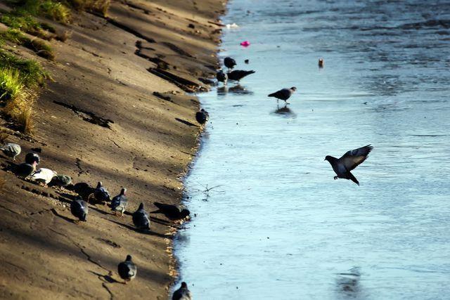 Много голубей у замёрзшего водоёма