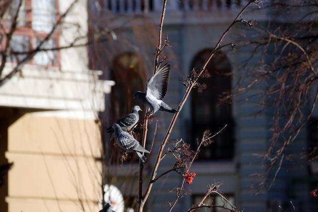 Голуби на дереве