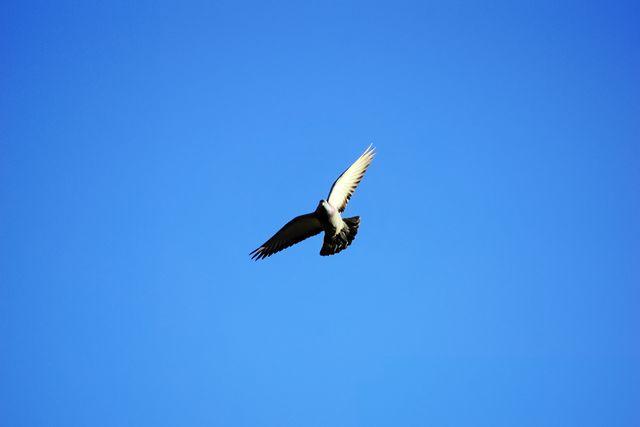 Голубь в полёте на фоне неба