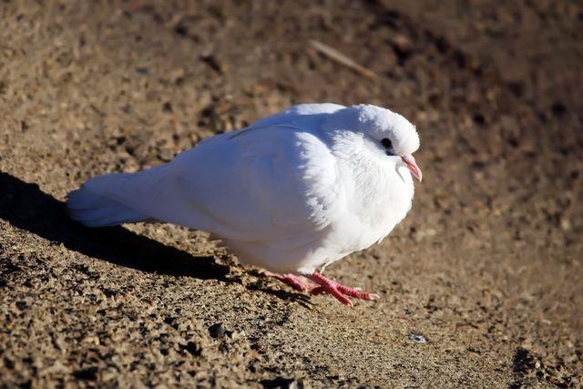 Белый голубь на земле крупным планом