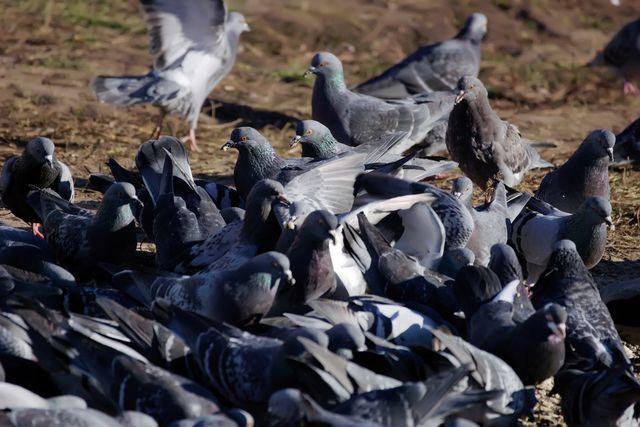 Голубиная война миров З