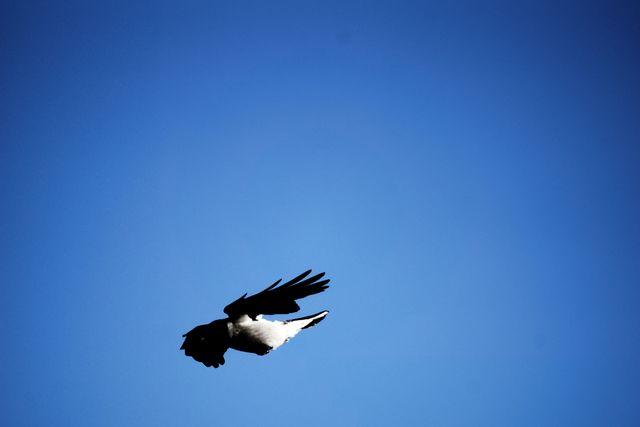 Ворон в полёте на фоне синего неба